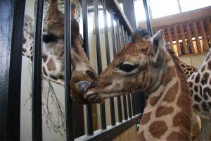 100812_giraffe